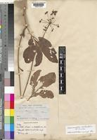 Isotype of Franchetella arborescens unrecorded var platyphylla Welw,; Hiern [family UMBELLIFERAE]