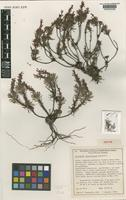 Isotype of Stylidium lateriticola Kenneally [family STYLIDIACEAE]