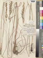 Type of Eragrostis muerensis Pilg. [family POACEAE]