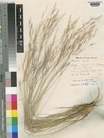Isotype of Aristida anisochaeta Clayton [family POACEAE]