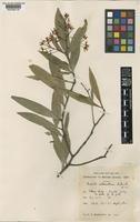 Isotype of Ouratea cataractarum Sandwith [family OCHNACEAE]