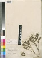 Isotype of Thunbergia glaucina S.Moore [family ACANTHACEAE]