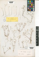 Type of Minuartia mesogitana Hand.-Mazz. [family CARYOPHYLLACEAE]