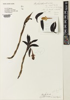 Isotype of Ida fimbriata (Poepp. & Endl.) A.Ryan & Oakeley var. angustitepalae [family ORCHIDACEAE]