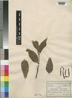 Type of Loranthus luteostriatus Engl. & K.Krause [family LORANTHACEAE]