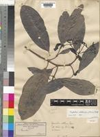 Isotype of Psychotria catetensis (Hiern) Petit [family RUBIACEAE]
