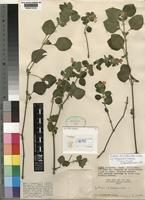 Holotype of Justicia diclipteroides Lindau subsp. megaensis Hedrén [family ACANTHACEAE]