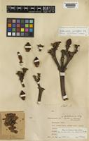 Holotype of Anthocleista keniensis Summerh. [family LOGANIACEAE]