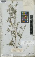 Isotype of Tagetes microglossa Benth. [family COMPOSITAE]