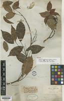 Holotype of Rourea oblongifolia Hook. & Arn. [family CONNARACEAE]