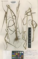 Holotype of Paspalum petrense A.G.Burm. [family POACEAE]
