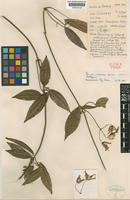 Holotype of Clematis cruttwellii H.Eichler ex W.T.Wang [family RANUNCULACEAE]