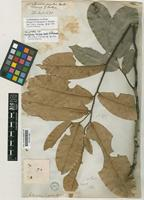 Holotype of Mitrephora excelsa Hook.f. & Thomson [family ANNONACEAE]