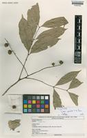 Holotype of Guarea gracilis T.D. Penn. [family MELIACEAE]