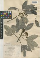 Type of Euodia roxburghiana Benth. var. longipes Craib [family RUTACEAE]
