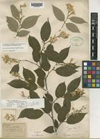 Isotype of Styrax hypoglaucus Perkins [family STYRACACEAE]