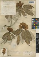 Type of Rhododendron vellereum Hutch. ex Tagg [family ERICACEAE]