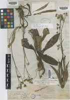 Type of Crepis silhetensis Hook.f. [family COMPOSITAE]
