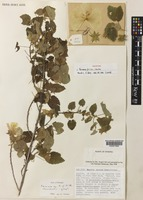 Holotype of Pavonia friisii Thulin & Vollesen [family MALVACEAE]