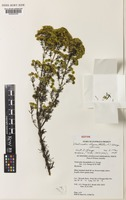 Isotype of Verticordia chrysanthella A.S.George [family MYRTACEAE]