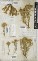 Chrysothamnus parryi Greene subsp. howardii (Parry ex A.Gray) H.M.Hall & Clem. [family COMPOSITAE]