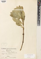 Lectotype of Alyxia markgrafii Tsiang [family APOCYNACEAE]