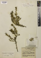 Isotype of Bassia cucullata Ising [family AMARANTHACEAE]