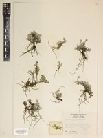 Isotype of Antennaria soliceps S.F.Blake [family COMPOSITAE]