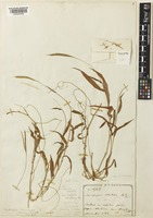 Type of Andropogon formosanus Rendle var. minor Rendle [family POACEAE]