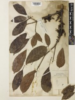 Pimelodendron griffithianum (Müll.Arg.) Benth. ex Hook.f. [family EUPHORBIACEAE]