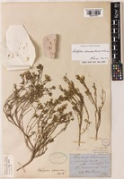 Lectotype of Pterigeron adscendens Benth. [family COMPOSITAE]