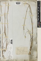 Coelorachis cylindrica (Michx.) Nash [family POACEAE]