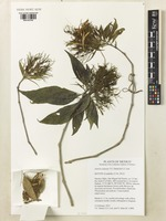 Isotype of Justicia salasiae T.F.Daniel & E.J.Lott [family ACANTHACEAE]