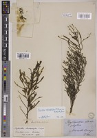 Lectotype of Phyllanthus elachophyllus F.Muell. ex Benth. [family PHYLLANTHACEAE]