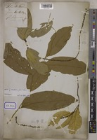 Type of Bennettia unrecorded R.Br. [family PANDACEAE]