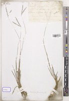 Dimeria unrecorded R.Br. [family POACEAE]