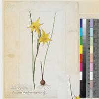 Gladiolus trichonemifolius original illustration from Curtis's Botanical Magazine