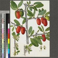Ximenia caffra Sond. original illustration from the 'Trees of Central Africa'