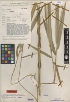 Isotype of Dinochloa prunifera S.Dransf. [family GRAMINEAE]