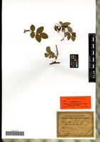 Isotype of Rosa deucalion Gand. [family ROSACEAE]