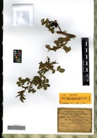 Isotype of Rosa scleroacantha Gand. [family ROSACEAE]
