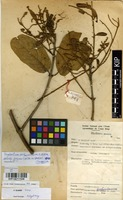 Filed as Combretum mechowianum O.Hoffm. subsp. gazense (Swynn. & Baker f.) P.A.Duvign. [family COMBRETACEAE]