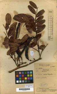 Leguminosae The Plant List