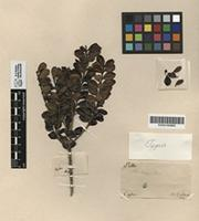 Holotype of Ilex walkeri Turcz. [family AQUIFOLIACEAE]