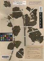 Holotype of Arctium glabrescens Klokov [family ASTERACEAE]