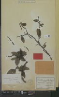 Isotype of Loranthus annulatus Engl. & K.Krause [family LORANTHACEAE]