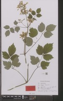 Holotype of Clematis cv. 'sander' [family RANUNCULACEAE]