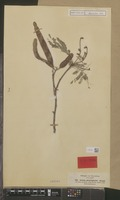 Isotype of Acacia glaucaphylla Steud. ex A.Rich. [family LEGUMINOSAE-MIM.]