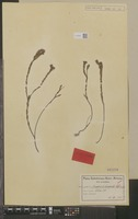 Isotype of Acmadenia diosmoides Schltr. [family RUTACEAE]