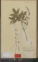 Isotype of Commiphora spondioides Engl. [family BURSERACEAE]